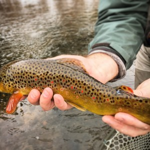Colorado Brown Trout