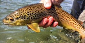 San Juan River Brown