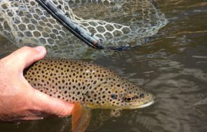 Tarryall Creek Brown Trout