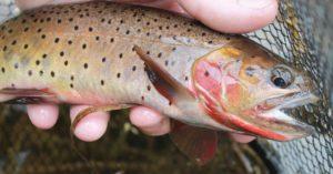 Colorado Native Greenback Cutthroat Trout