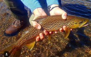 fall-brown-trout-closeup