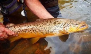 fall-brown-trout-kype