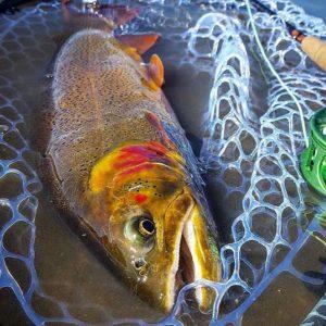 dream stream trout