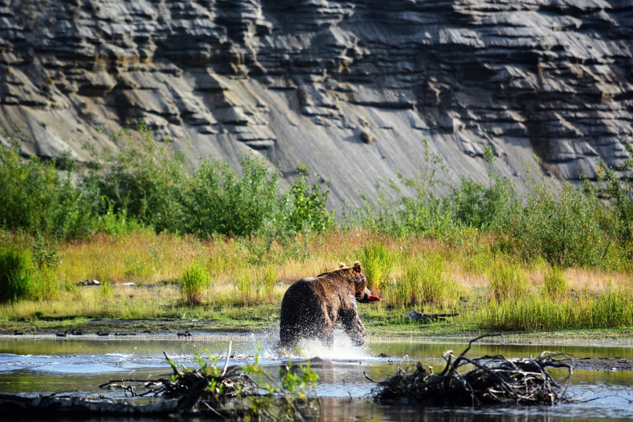 Alagnak River Bear